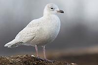 "Immature, 1st winter ""Kumlien's"" Iceland Gull (Larus glaucoides kumlieni). Tompkins County, New York. January."