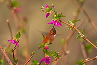 Male Rufous Hummingbird (Selasphorus rufus) nectaring on salmonberry blossom.  Western Washington.  April.