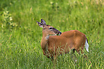 White-tailed doe eating clover