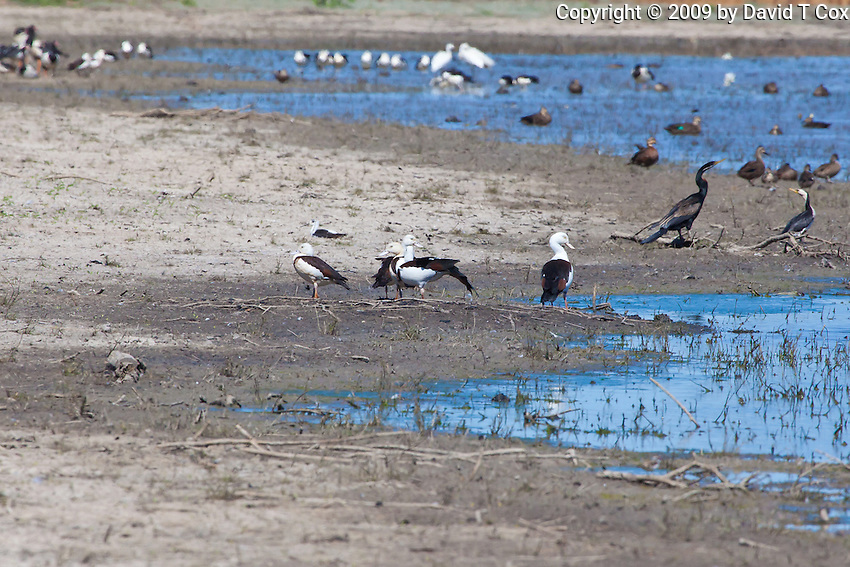 Radjah Shelduck (appears to be Banded Stilt in back, well out of range), near Normanton, Queensland, Australia