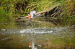 Kingfisher in  Patagonia