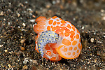 Cannibal nudibranch (Gymnodoris rubropapulosa) eating a chromodoris nudibranch (Hypselodoris obscura)