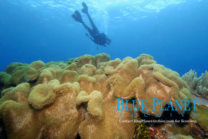 Diver hovers over Leather coral, Sarcophyton sp., Apo Island marine reserve, Philippines, Visayan sea