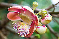 Cannonball Flower in Cairns Botanical Garden