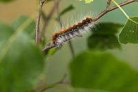 Wollafter, Frühlings-Wollafter, Birkennestspinner, Raupe frisst an Birke, Raupen, Eriogaster lanestris, Bombyx lanestris, Small Eggar, caterpillar, caterpillars, bombyx laineux, laineuse du cerisier