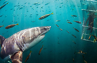 great white shark, Carcharodon carcharias, investigating cage diver, Seal Island, False Bay, South Africa