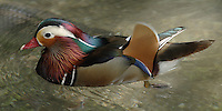 "The Mandarin Duck is a medium-sized perching duck, closely related to the North American Wood Duck.<br /> The adult male is a striking and unmistakable bird. It has a red bill, large white crescent above the eye and reddish face and ""whiskers""."