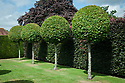 Standard hornbeam trees clipped into balls, with a copper beech hedge behind, Town Place, late June.
