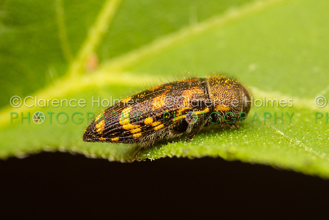 Metallic Wood-boring Beetle (Acmaeodera mixta)