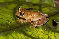 Espécie: Dendropsophus rossalleni (Goin, 1959)<br /> .<br /> .<br /> Imagem feita em 2017 durante expedição científica para a região do Lago Tefé, Tefé, Amazonas, Brasil. A expedição, financiada pelo  Conselho Nacional de Desenvolvimento Científico e Tecnológico, teve o abjetivo de reencontrar espécies de anfíbios descritas pelo explorador Johann Baptist von Spix no ano de 1824.