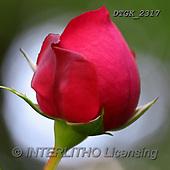 Gisela, FLOWERS, BLUMEN, FLORES, photos+++++,DTGK2317,#F#, EVERYDAY