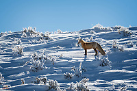 Red Fox (Vulpes vulpes) takes a breather from his arduous trek up the side of a steep hill covered in fairly deep snow. He was moving fast. When he heard the yowls of a pack of Coyotes in the valley below, he resumed his pace and disappeared over the hill.