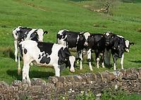Holstein heifers, Dunsop Bridge, Clitheroe, Lancashire.