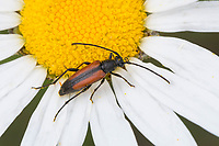 Kleiner Schmalbock, Gemeiner Schmalbock, Schwarzschwänziger Schmalbock, Blütenbesuch auf Margerite, Weibchen, Stenurella melanura, Strangalia melanura, Leptura melanura, Stenurella sennii, flower longhorn beetle, black-striped longhorn beetle, female, Le lepture à suture noire