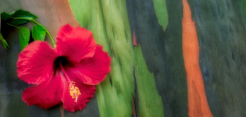 Hybiscus flower and painted eucalyptus tree bark. Kauai, Hawaii