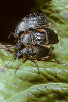Schwarzer Fichten-Dickmaulrüssler, Schwarze Rüsselkäfer, Großer Schwarzer Rüsselkäfer, Paarung, Kopula, Kopulation, Otiorhynchus niger, Otiorhynchus coecus