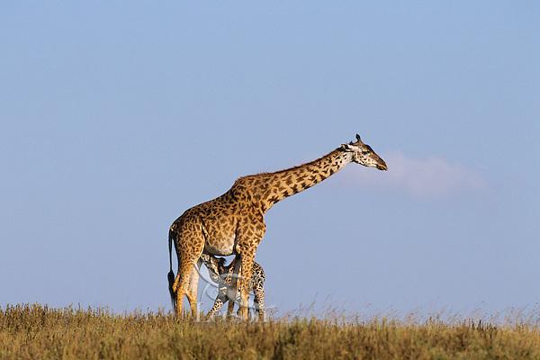 Masai Giraffes (Giraffa camelopardalis)--mother nursing calf.  Serengeti National Park, Tanzania.