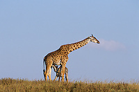 Masai Giraffes (Giraffa camelopardalis)--mother nursing calf.  Serengeti National Park, Tanzania.