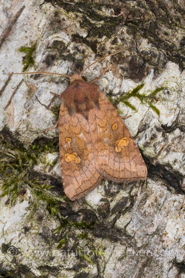 Stengeleule, Stängeleule, Amphipoea spec., Ear Moth, Eulenfalter, Noctuidae, noctuid moths, noctuid moth