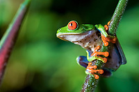 red-eyed treefrog, Agalychnis callidryas, in rainforest, Costa Rica