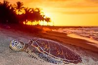 green sea turtle, Chelonia mydas, juvenile, resting on beach, endangered species, Kahuwai Bay, at sunset, Kohala Coast, Big Island, Hawaii, USA, Pacific Ocean