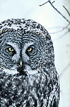 Great Grey Owl looking for prey boreal forest Manitoba Canada, Riding Mountain National Park.