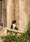 Balck & white cat at the Mercouri Estate Winery in Katakolon, Pyrgos, Greece