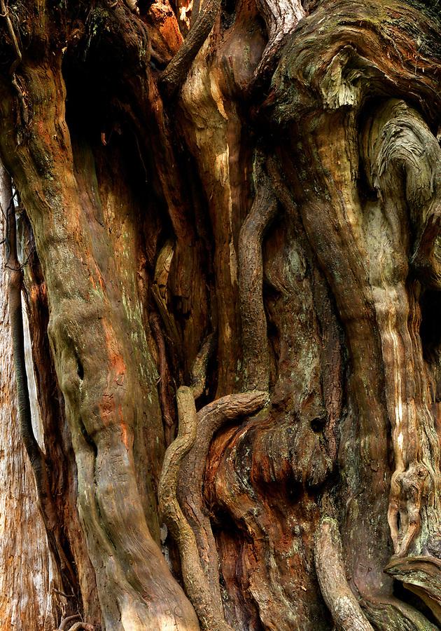 Twisted cedar bark, Big Cedar Tree, Kalaloch, Olympic National Park, Washington, USA