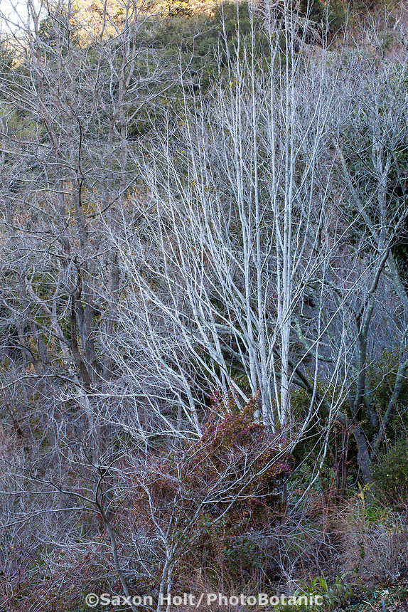 Magnolia sprengeri, Deciduous winter tree branches; University of California Berkeley Botanic Garden