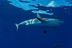 Caribbean Reef sharks at surface, Cuba Underwater, Jardines de la Reina, Carcharhinus perezii