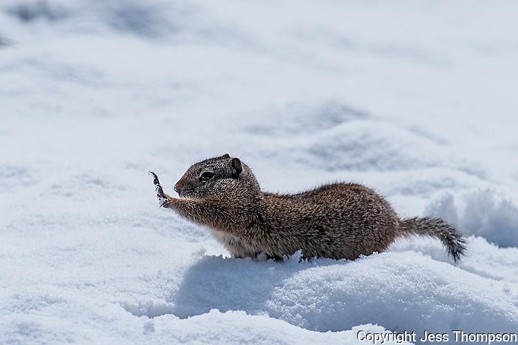 Uinta Ground Squirrel, Yellowstone National Park