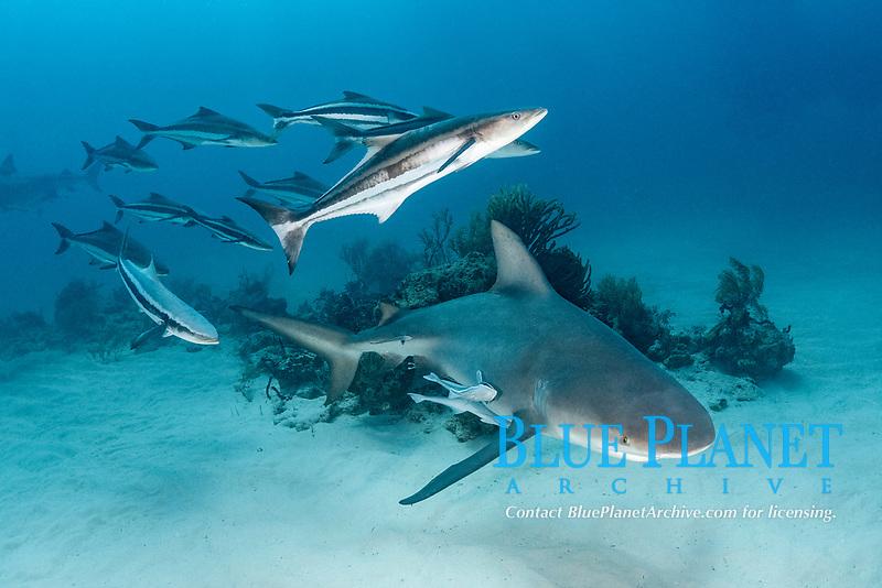 Bull Shark - Carcharhinus leucas - with an escort of cobia - Rachycentron canadum. Bull sharks are also known as Zambezi Sharks or Lake Nicaragua Sharks. Image taken at Tiger Beach, Little Bahama Bank, Bahamas, Caribbean Sea.