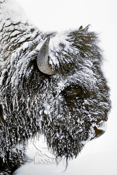 Bison bull (Bison bison), Winter.