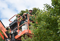 Bentonville Parks and Recreation staff Jimmy Hutchison hangs string lights, Friday, September 11, 2020 along a tree top at the downtown square in Bentonville. Bentonville Parks and Recreation have started hanging the roughly 37 miles of Christmas lights along the greenery at the square. That's approximately 390,000 lights. The plan is to complete the installation the week before Thanksgiving and the yearly Lighting of the Square. Check out nwaonline.com/200912Daily/ for today's photo gallery. <br /> (NWA Democrat-Gazette/Charlie Kaijo)