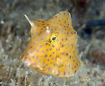 Honeycombed Cowfish juvenile, Acanthostracion polygonia, Underwater Marine life