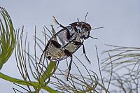 Kleiner Kolbenwasserkäfer, Stachelwasserkäfer, Hydrochara caraboides, Lesser silver water beetle, Wasserkäfer, Hydrophilidae, water scavenger beetles