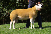 1.9.2020 Texel Sheep Society English National Sale<br /> Lot 147 Loosebeare Champion sold for 7200gns<br /> ©Tim Scrivener Photographer 07850 303986<br />      ....Covering Agriculture In The UK.