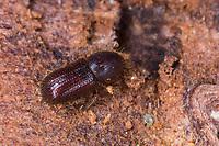 Zottiger Fichtenborkenkäfer, Zottiger Fichten-Borkenkäfer, Zottenborkenkäfer, Zotten-Borkenkäfer, Dryocoetes autographus, Hairy spruce bark beetle