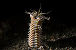 Lembeh Strait, Indonesia; a Bobbit Worm emerging from its burrow in the black muck, sandy bottom to feed at night