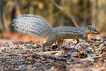 Adult Boky-boky (Mungotictis decemlineata)(old name narrow-striped mongoose) foraging in leaf litter. Dry deciduous forest, Kirindy, western Madagascar.