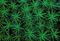 Ruig haarmos (Polytrichum piliferum)