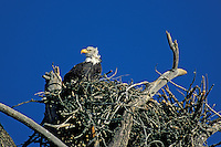 Bald Eagle (Haliaeetus leucocephalus) on the nest in Yellowstone National Park