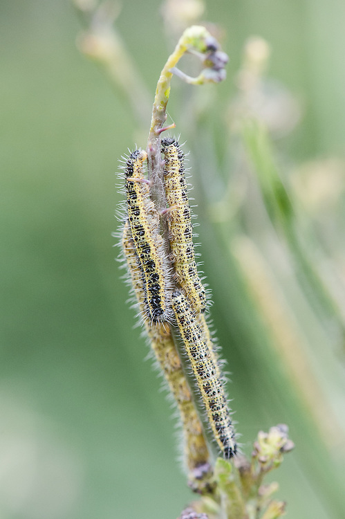 Caterpillars of large white butterfly (Pieris brassicae) on sprouting broccoli, late August.
