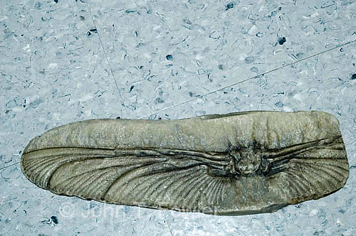 carboniferous period dragonfly fossil, Mazonopterum wolfforum