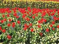 Royal Tulips, London