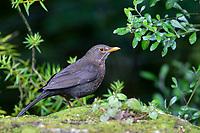 Eurasian Blackbird (Turdus merula merula), adult female foraging in Queens Park, Invercargill, Southland, New Zealand.