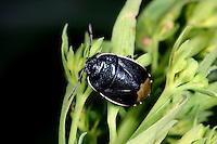 Blauschwarze Erdwanze, Canthophorus dubius, Erdwanzen, Cydnidae, burrower bugs, cydnid bugs, burrowing bugs, negro bugs