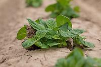 Potato plants emerging from silt ridges - Lincolnshire, June