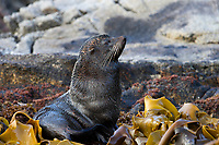 New Zealand Fur Seal (Arctocephalus forsteri) adult male on the Snares Island, New Zealand.