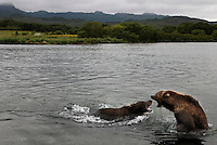 Though there is plenty to eat, two brown bears squabble over fish at Kurilskoe Lake Preserve,  a world heritage site.